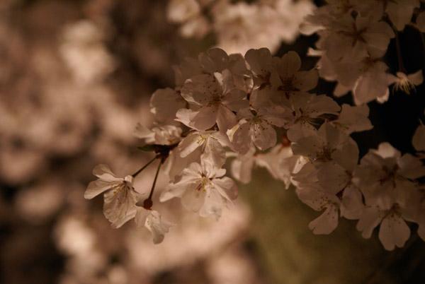 祇園 夜桜 (3).jpg