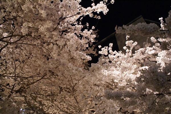 祇園 夜桜 (5).jpg