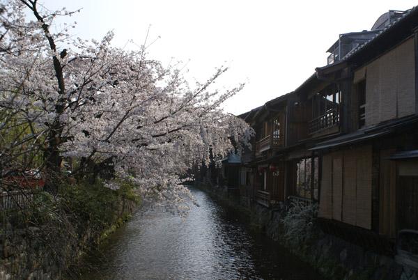 祇園 桜 (1).jpg